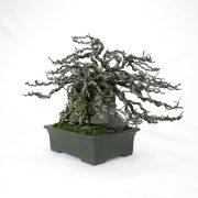 achat vente bonsai shohin - 77