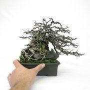 achat vente bonsai shohin - 78