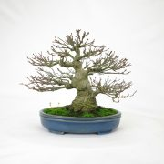 achat vente bonsai shohin - 89