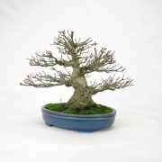 achat vente bonsai shohin - 90