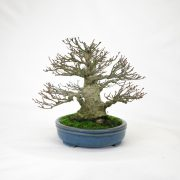 achat vente bonsai shohin - 91
