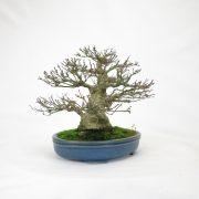 achat vente bonsai shohin - 92