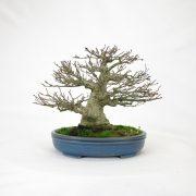 achat vente bonsai shohin - 93