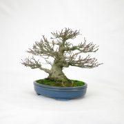 achat vente bonsai shohin - 94