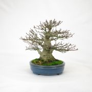 achat vente bonsai shohin - 95