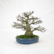 achat vente bonsai shohin - 96