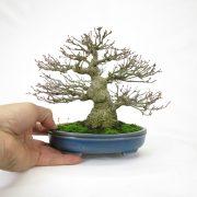 achat vente bonsai shohin - 97