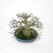 achat vente bonsai shohin - 98
