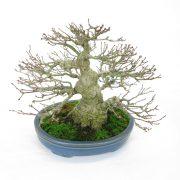 achat vente bonsai shohin - 99
