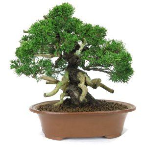 juniperus itoigawa shohin