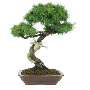juniperus rigida shohin