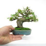 achat vente bonsai shohin - 27