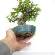 achat vente bonsai shohin - 29