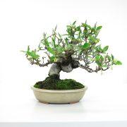 achat vente bonsai shohin - 49