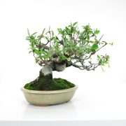 achat vente bonsai shohin - 50