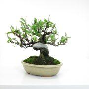 achat vente bonsai shohin - 52