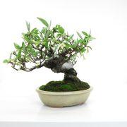 achat vente bonsai shohin - 54