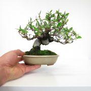 achat vente bonsai shohin - 56