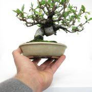 achat vente bonsai shohin - 57