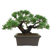 juniperus itoigawa double tronc 2