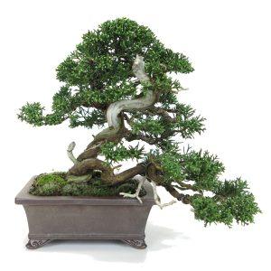 juniperus itoigawa double tronc