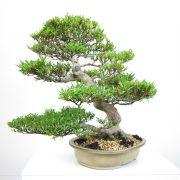 achat vente bonsai shohin - 004