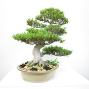 achat vente bonsai shohin - 007