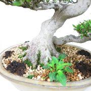 achat vente bonsai shohin - 009