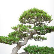 achat vente bonsai shohin - 011