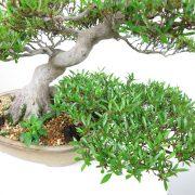achat vente bonsai shohin - 012