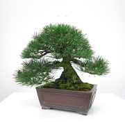 achat vente bonsai shohin - 014