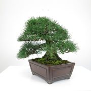 achat vente bonsai shohin - 015