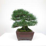 achat vente bonsai shohin - 016
