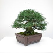 achat vente bonsai shohin - 017