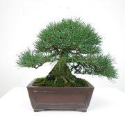 achat vente bonsai shohin - 018