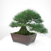 achat vente bonsai shohin - 019