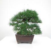 achat vente bonsai shohin - 020