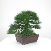 achat vente bonsai shohin - 021