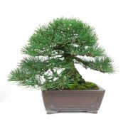 achat vente bonsai shohin - 022