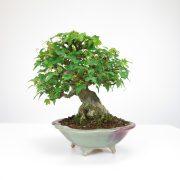 achat vente bonsai shohin - 059