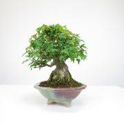 achat vente bonsai shohin - 060
