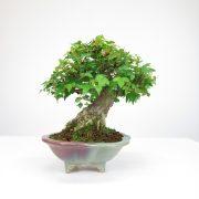 achat vente bonsai shohin - 062