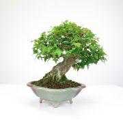 achat vente bonsai shohin - 063