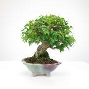 achat vente bonsai shohin - 064