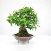 achat vente bonsai shohin - 065