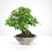 achat vente bonsai shohin - 066