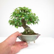 achat vente bonsai shohin - 067