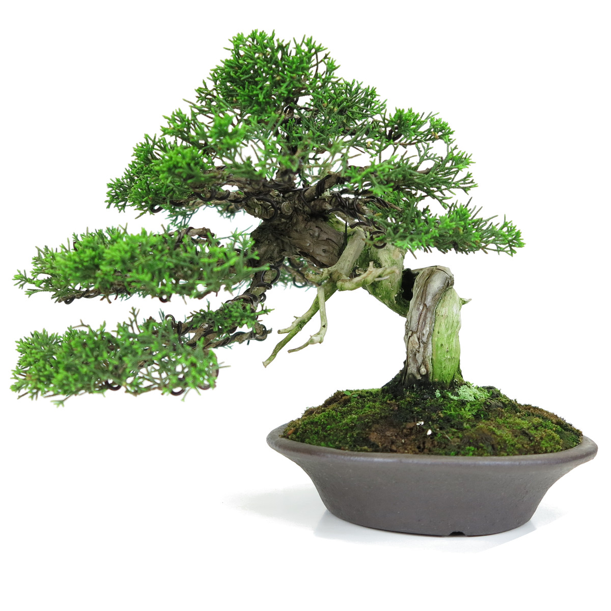http://bonsai-shohin.com/wp-content/uploads/2017/05/genévrier-shohin.jpg