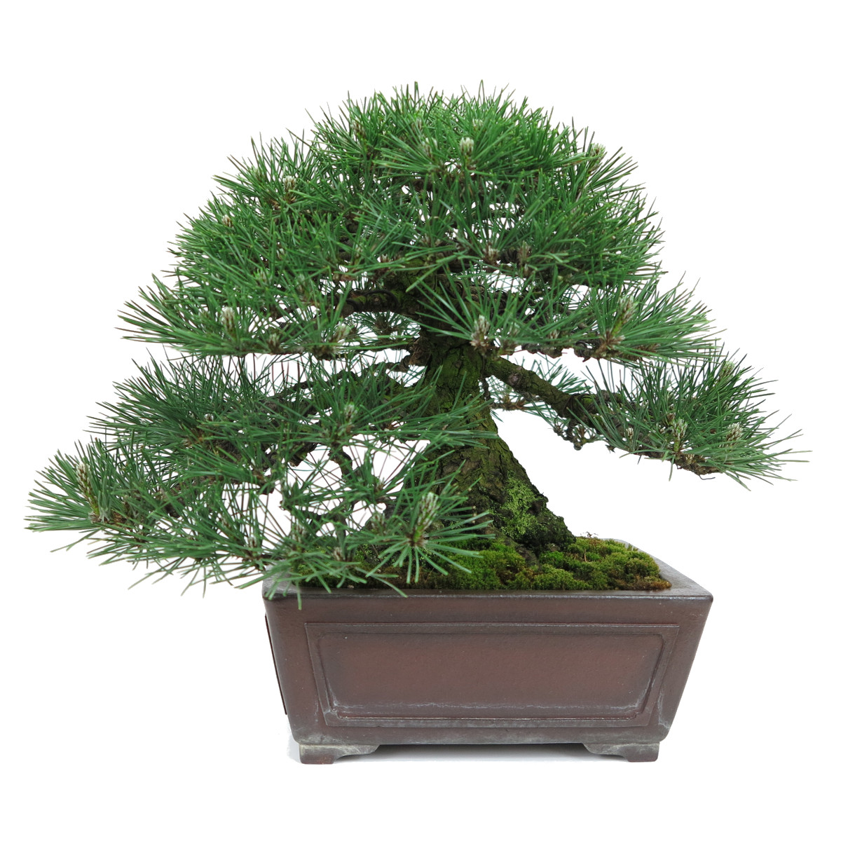 http://bonsai-shohin.com/wp-content/uploads/2017/05/pin-noir-shohin.jpg