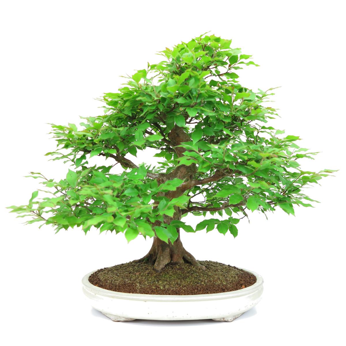 http://bonsai-shohin.com/wp-content/uploads/2017/05/stewartia.jpg